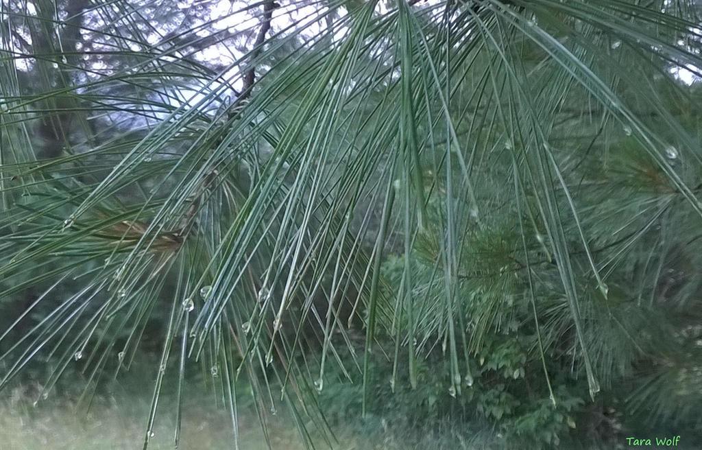 Pine Needles And Rain by seaglasshunter