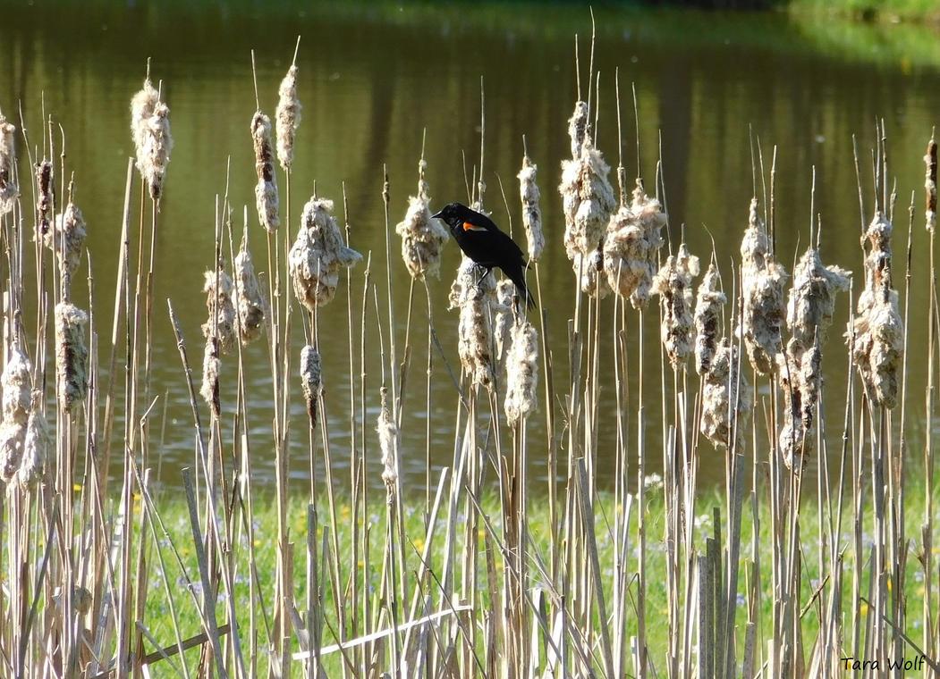 Redwing Blackbird On Reeds by seaglasshunter
