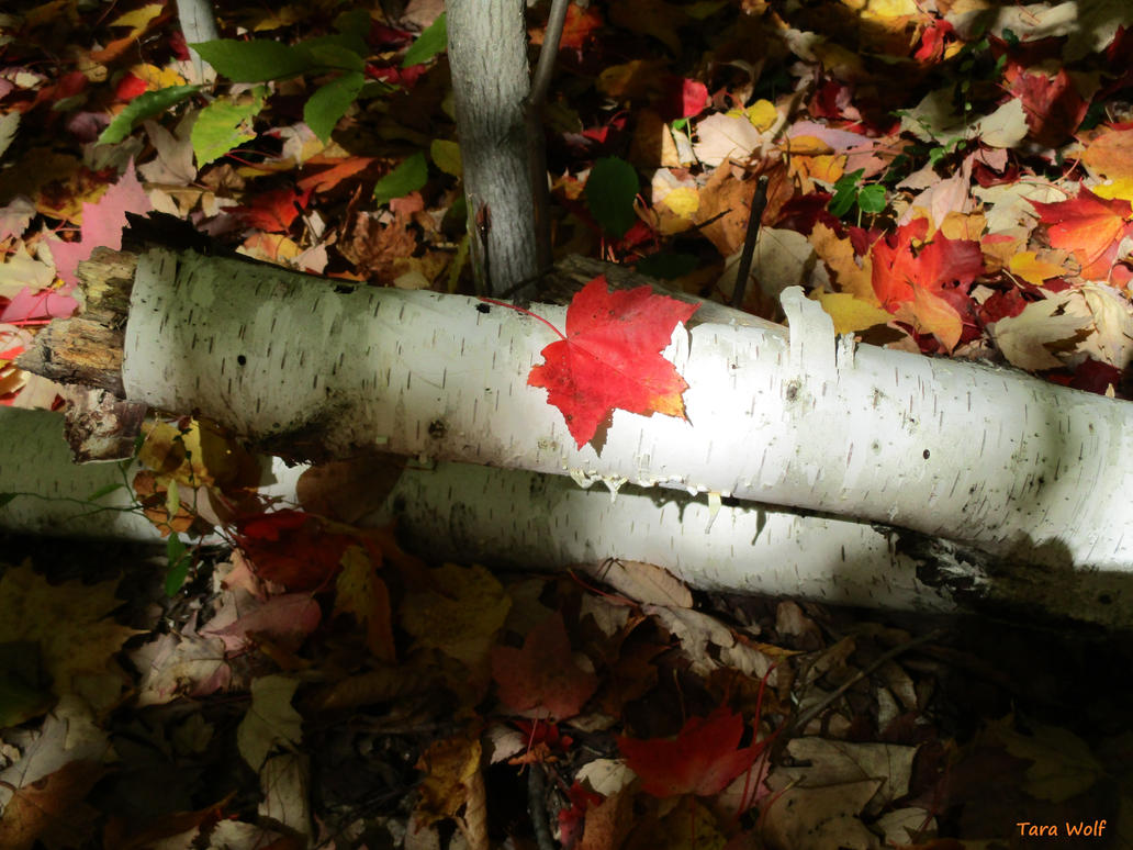 Birch And Maple by seaglasshunter