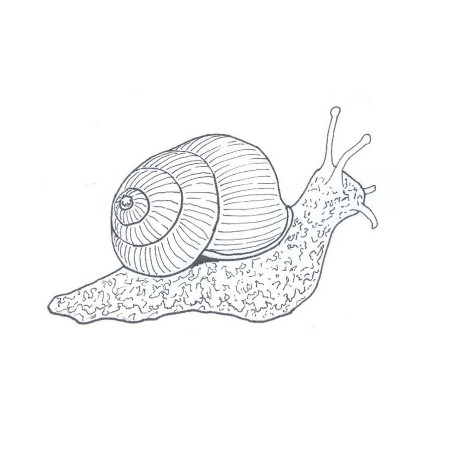 Snail line drawing by fuzzbunny374 on deviantart for Simple snail drawing