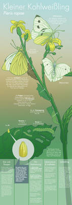 Info Graphic: Cabbage White Butterfly