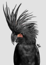 Palm Cockatoo (Probosciger aterrimus) by kinzaiten