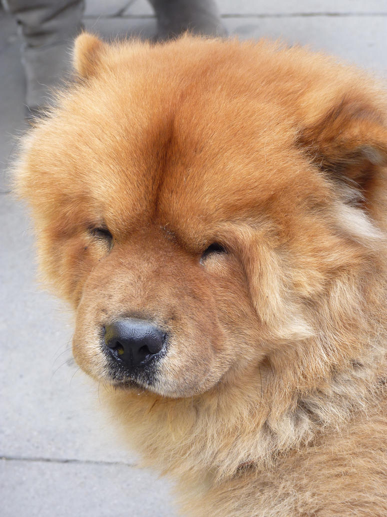 R Chow Chows Mean Chow Chow by Haari on ...