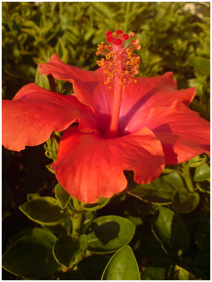 Hibiscus by koshadesing