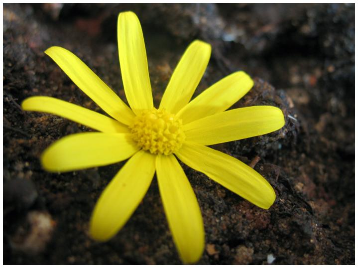 Yellow Flower. by koshadesing