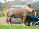 Draft Horse 6