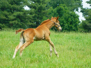 Thoroughbred Foal 4