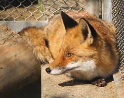 Fox by QmP3L