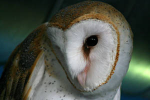 Barn Owl by xXCold-FireXx