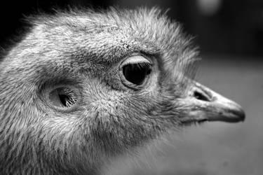 Darwin's Rhea by xXCold-FireXx