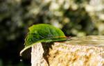 Leaf droplet