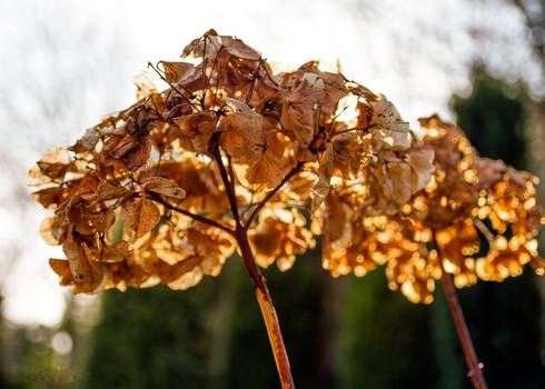 Withering in the Sun