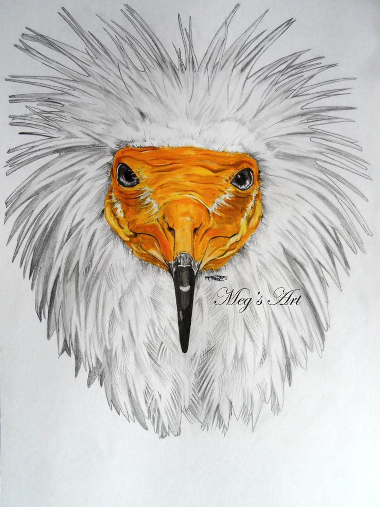 egyptian vulture drawing - photo #6