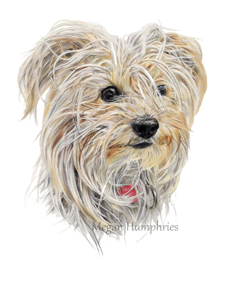 Ruby the Yorkie by stardust12345