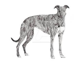 Tess the Greyhound