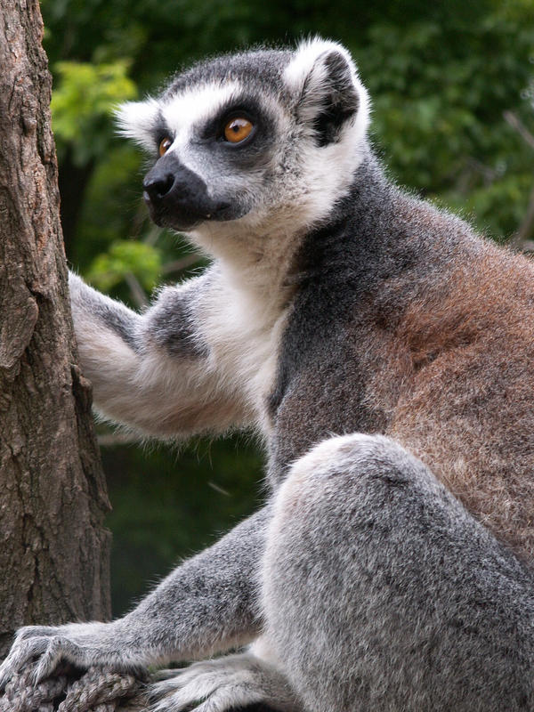 Lemur catta 003 by animalphotos