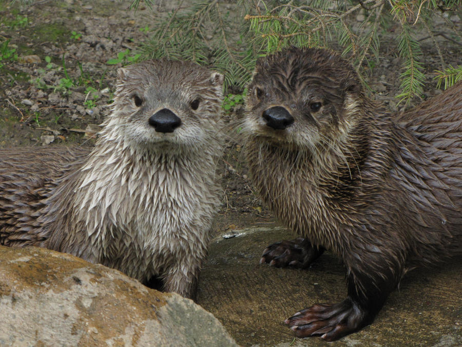 Northern River Otter 04 by animalphotos
