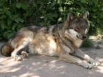 Gray Wolf 05