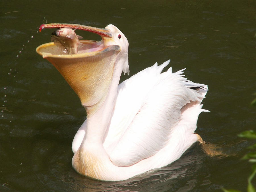 Great White Pelican 01 by animalphotos