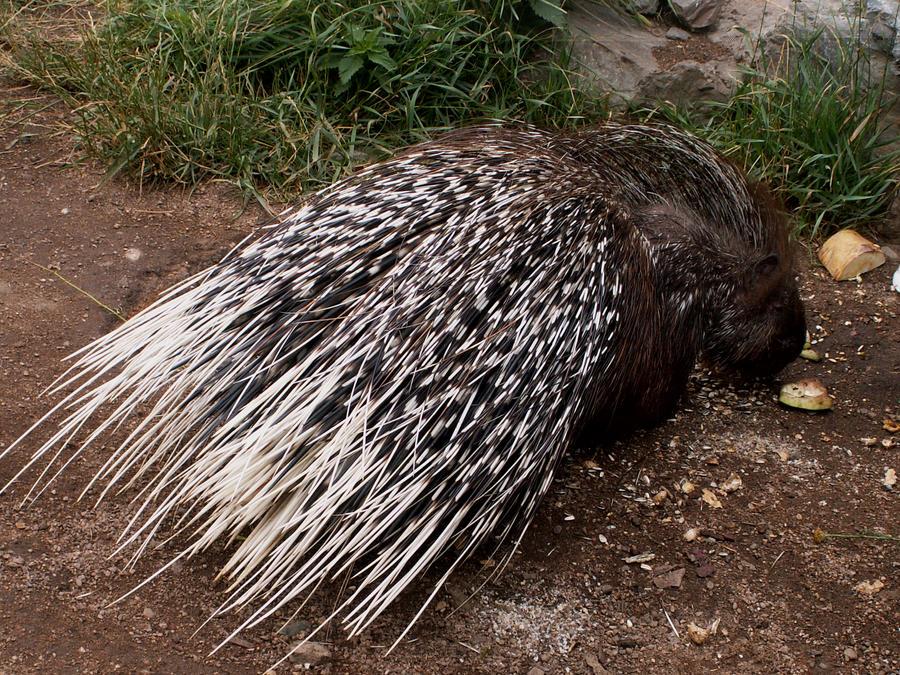 Porcupine, indian