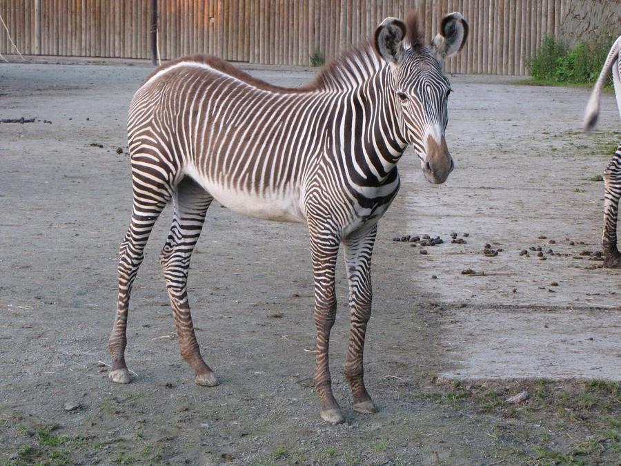 Grevy's Zebra by animalphotos