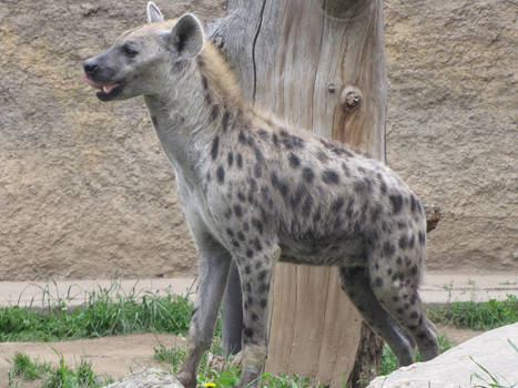 Spotted Hyena 03