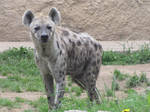 Spotted Hyena 04