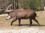 South American Tapir 01