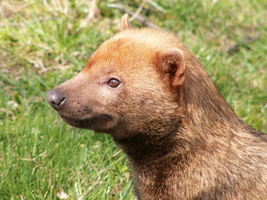 Bush Dog 02 by animalphotos