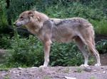 Gray Wolf 08