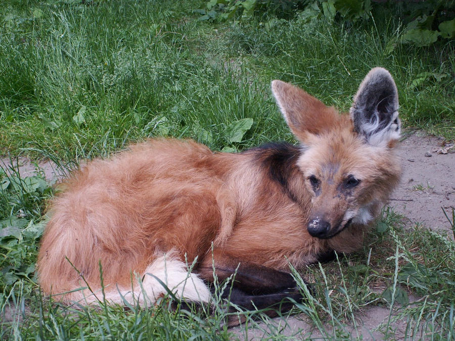 Maned Wolf by animalphotos