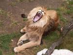 Barbary Lion 01