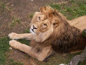 Barbary Lion 03