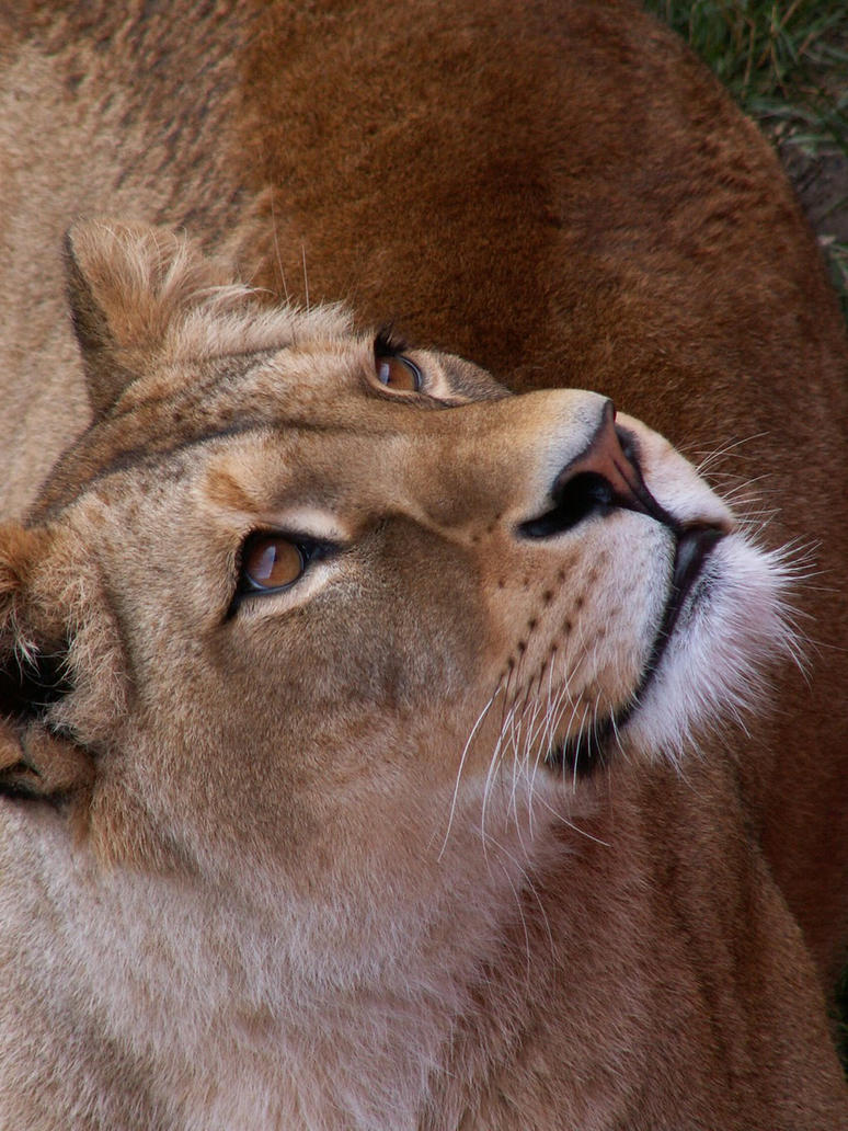 Barbary Lion 05 by animalphotos
