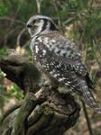 Northern Hawk Owl 02