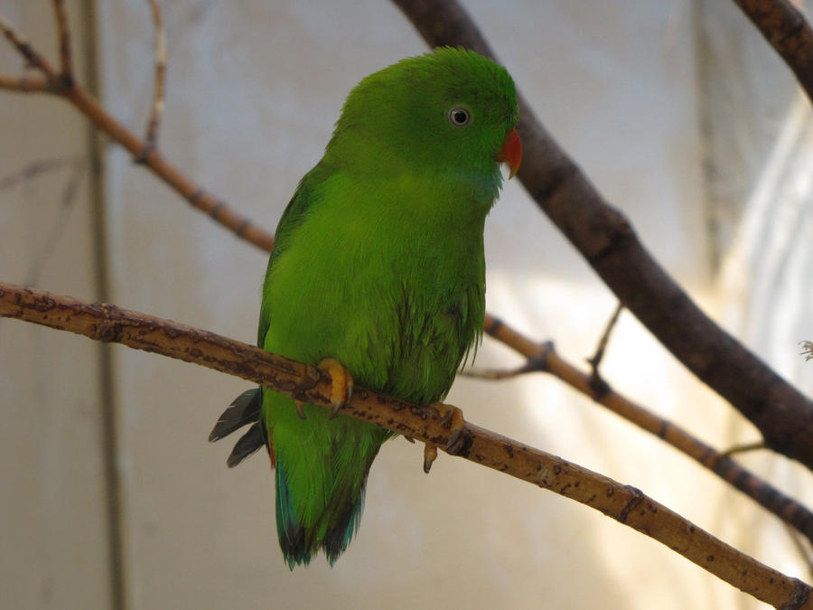 Vernal Hanging-Parrot 01 by animalphotos