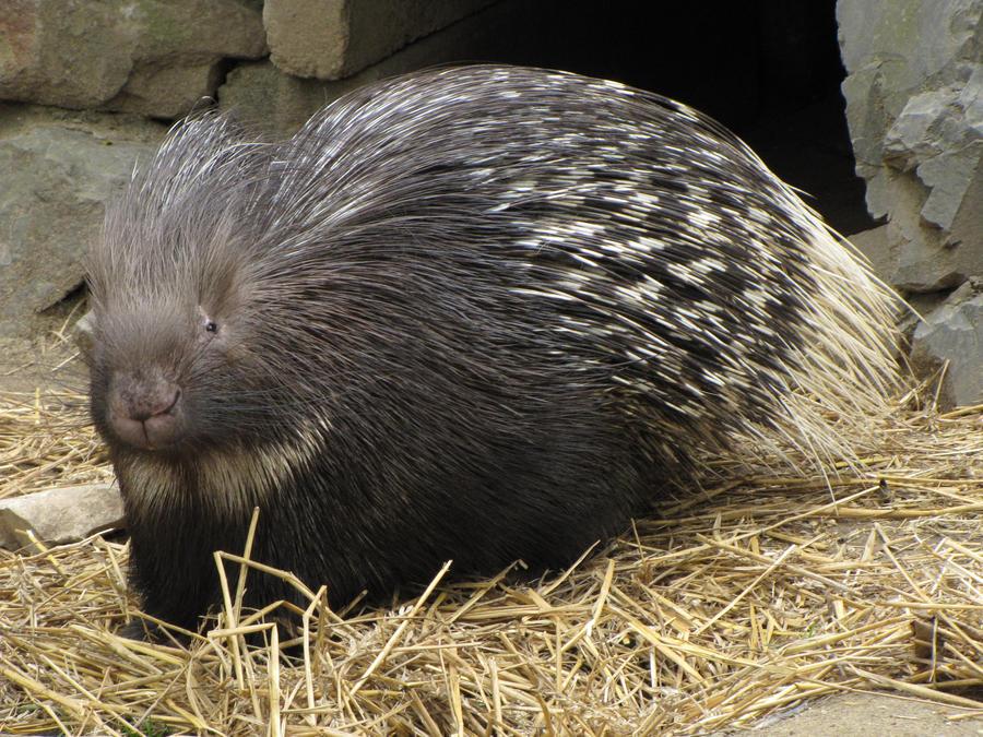 Indian Crested Porcupines - Blog