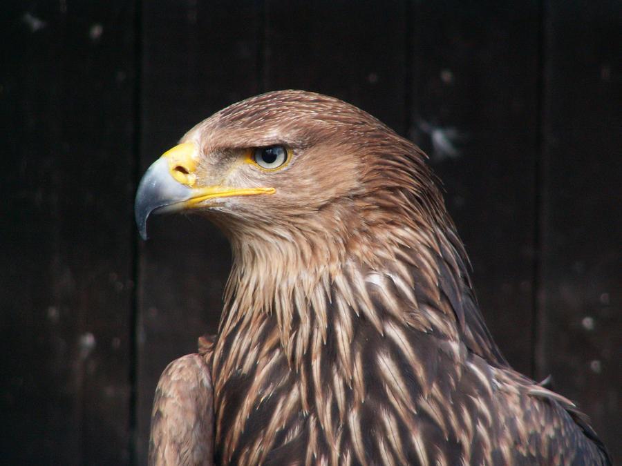 Gold eagle animal - photo#12
