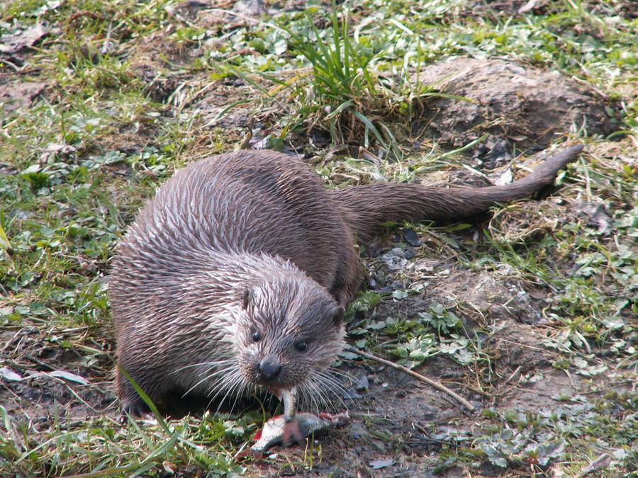 Eurasian river otter by animalphotos