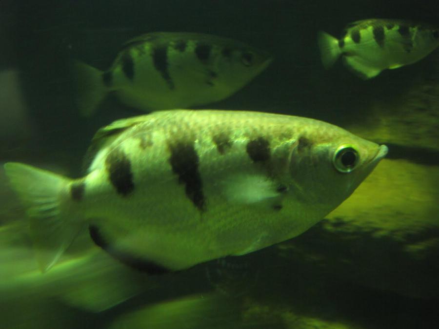 Banded Archerfish by animalphotos on deviantART