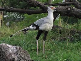 Secretary bird 10 by animalphotos