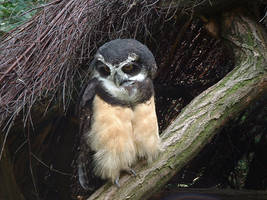Spectacled Owl by animalphotos
