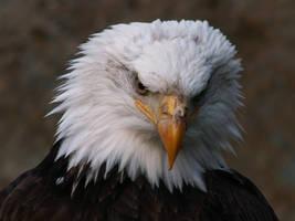 Bald Eagle 05 by animalphotos