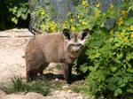 Bat-eared Fox 03