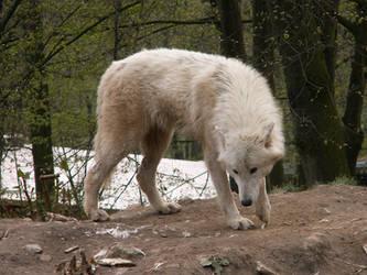 North American Arctic Wolf 04 by animalphotos