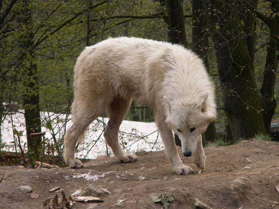 North American Arctic Wolf 04 by animalphotos