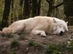 North American Arctic Wolf 06