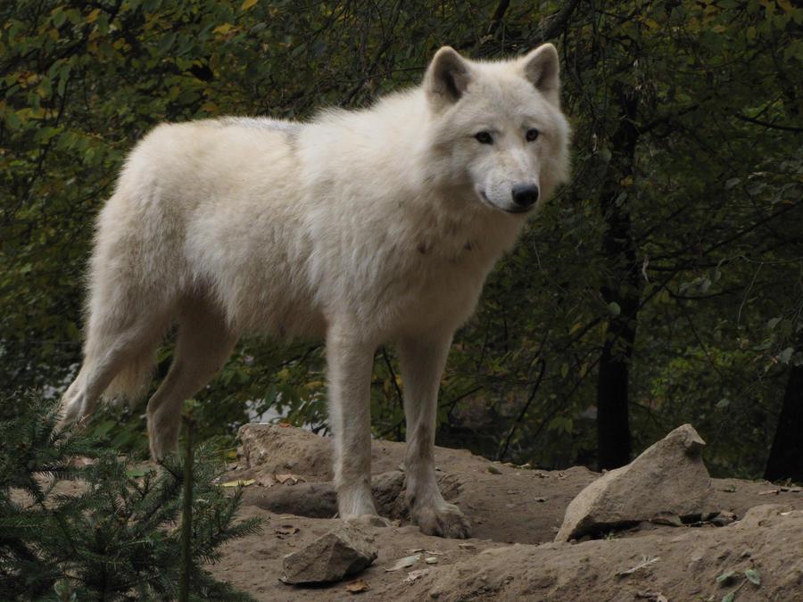 North American Arctic Wolf 21 by animalphotos