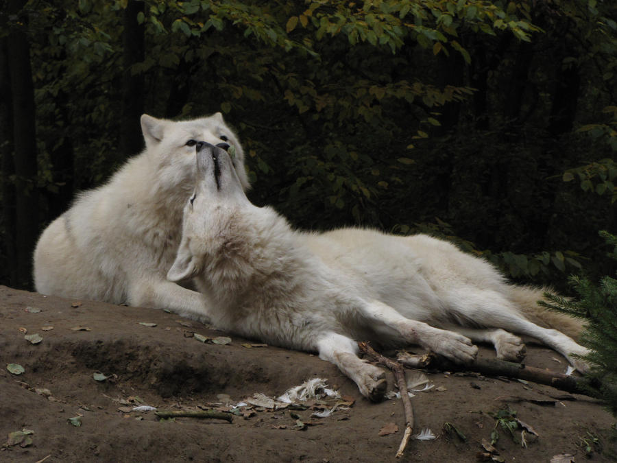 Anthro Arctic Wolf Anthro Arctic Wolf