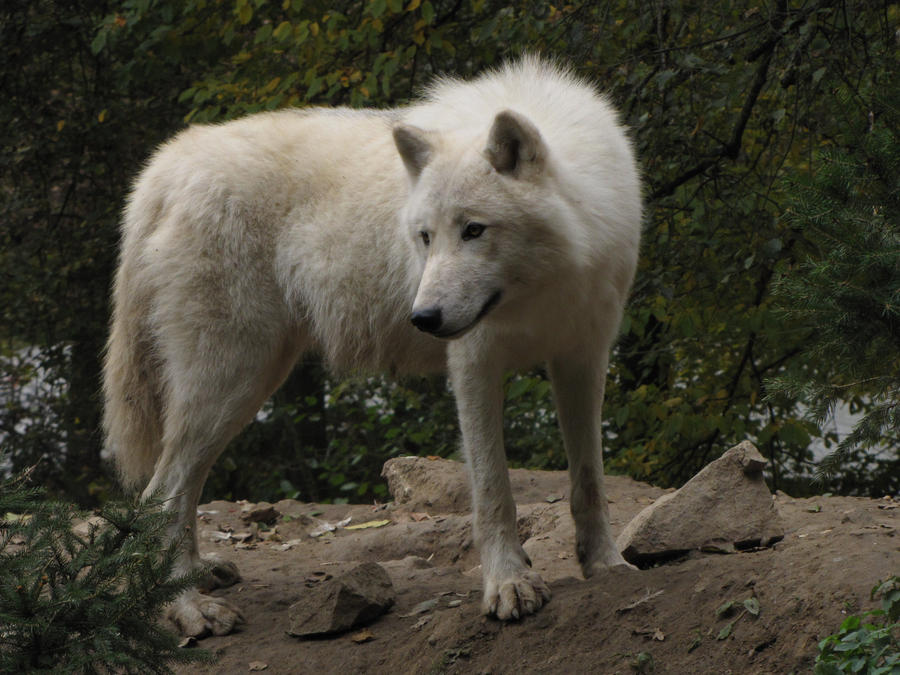 North American Arctic Wolf 40 by animalphotos